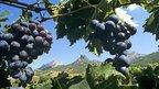 О перспективах развития виноградарства и виноделия